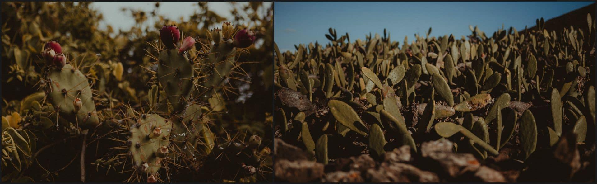 lanzarote, cactus